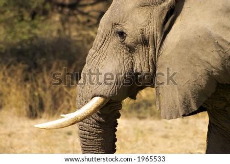 Elephant in lower zambezi national park - stock photo