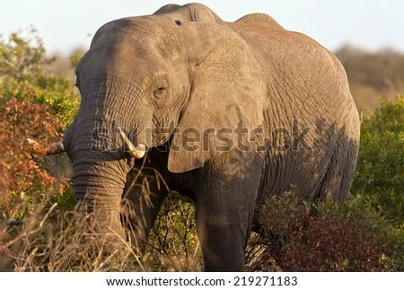 Elephant in the Morning light - stock photo