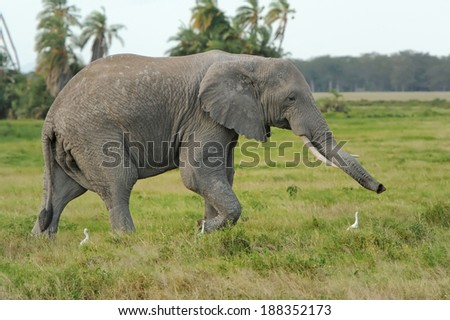 Elephant in the wild - national park Kenya - stock photo