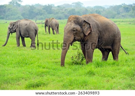Elephant in the wild on the island of Sri Lanka - stock photo