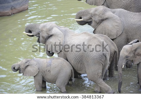 Elephant (Loxodonta africana) drinking at a shrunken water hole during a drought.  - stock photo