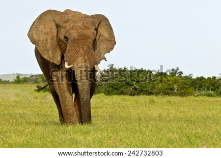 Elephant male standing and eating quietly from some lush grass - stock photo