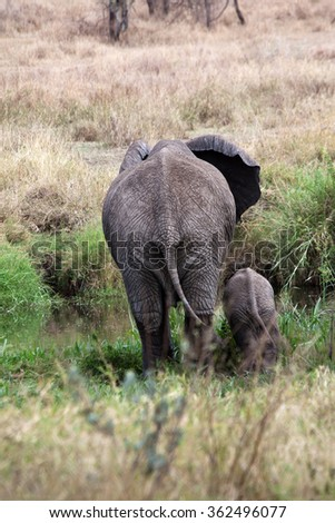 Elephant mother with baby at the back view in African grassland, Tanzania - stock photo