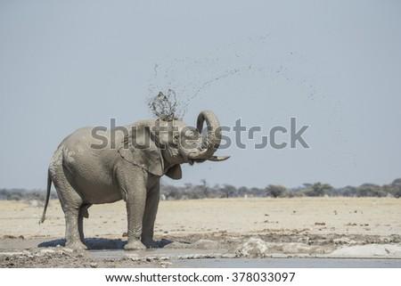 Elephant of the kalahari slinging mud - stock photo