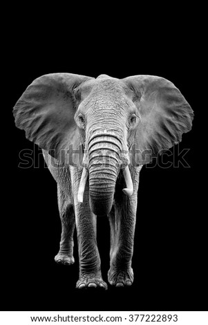 Elephant on dark background. Black and white image - stock photo
