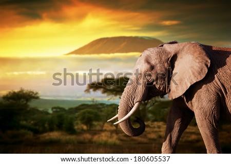 Elephant on savanna landscape background and Mount Kilimanjaro at sunset - stock photo