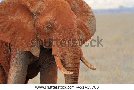 Elephant on savannah in National park of Africa - stock photo