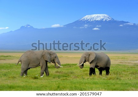 Elephant on the background of Mount Kilimanjaro in the national reserve - stock photo