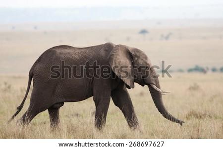 Elephant on the plains of the Maasai Mara, Kenya - stock photo