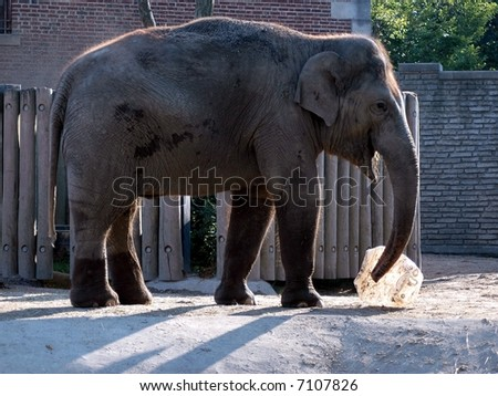 Elephant Playing-Buffalo Zoo-Trying to lift object. - stock photo