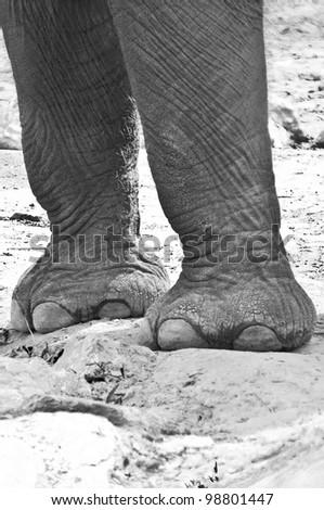 Elephant's legs and feet - stock photo