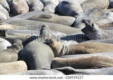 elephant seal colony at Piedras Blancas, California, USA - stock photo