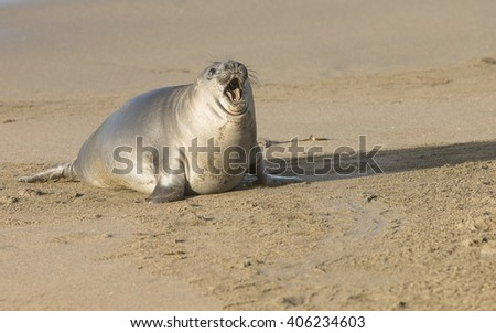 Elephant Seal pup - stock photo