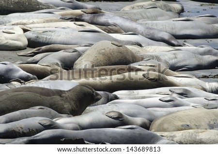 Elephant seals at Hearst-San Simeon State Park. - stock photo