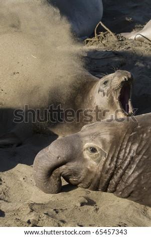 Elephant Seals mating on Beach in San Simeon - stock photo