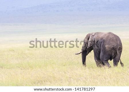 Elephant  Serengeti  National Park  Tanzania Africa - stock photo