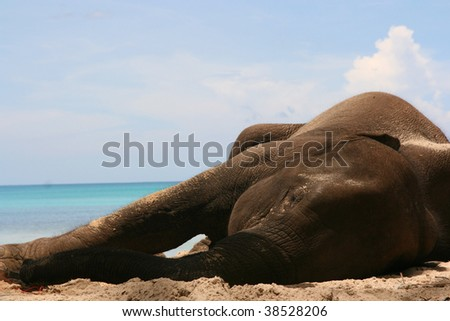 elephant sleeping on the beach - andaman island India - stock photo