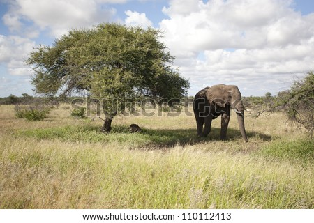 Elephant the giant of Africa - stock photo