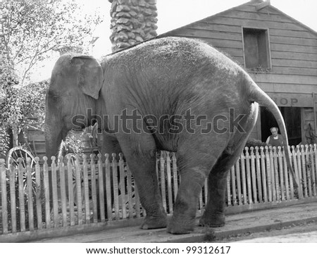 Elephant trying to cross over a picket fence - stock photo
