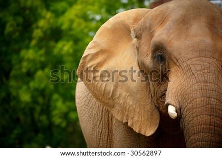 Elephant up close - stock photo