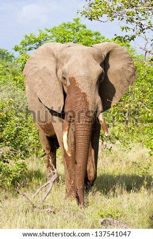 Elephant walk in the bush with wet trunk angry - stock photo