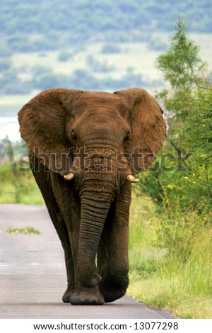 Elephant walking down road (Pilanesberg; South Africa) - stock photo