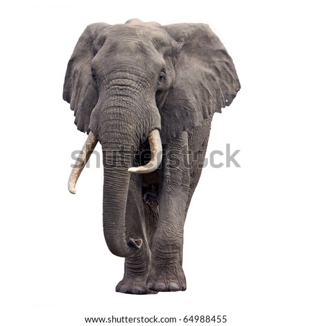 Elephant walking front view - stock photo