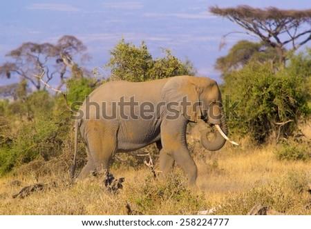 Elephant walking in savannah - stock photo