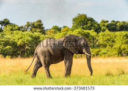 Elephant walks in the Moremi Game Reserve (Okavango River Delta), National Park, Botswana - stock photo