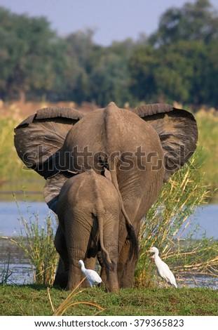 Elephant with baby elephant near the Zambezi River. Zambia. Lower Zambezi National Park. Zambezi River. An excellent illustration. - stock photo