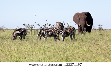 Elephant with Zebras and the birds in the bush. South Africa, Kruger's National Park. - stock photo