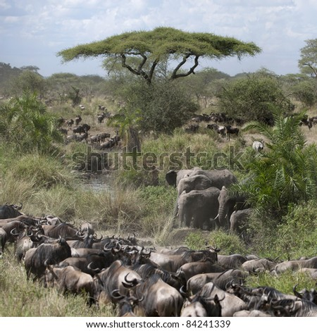 Elephants and Wildebeest at the Serengeti National Park, Tanzania, Africa - stock photo