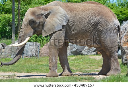 Elephants are large mammals of the family Elephantidae and the order Proboscidea. Two species are traditionally recognised, the African elephant (Loxodonta africana) and the Asian elephant - stock photo