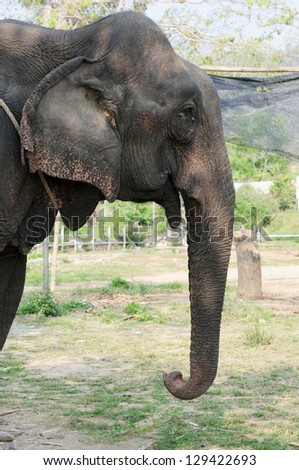 elephants close up. in Thailand. - stock photo