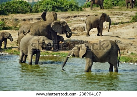 Elephants drinking water in Queen Elizabeth National Park, Uganda - stock photo