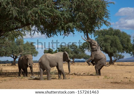 Elephants feeding - stock photo
