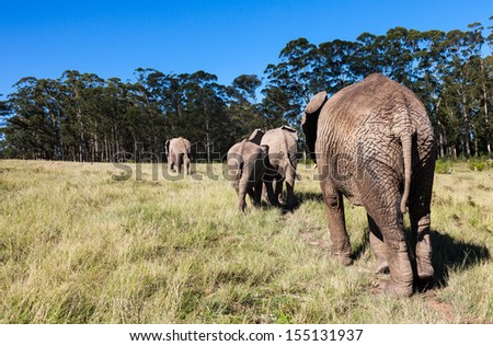 Elephants following each other at Knysna rescue centre South Africa. The Park offers a rare and exciting opportunity to get close to these gentle giants. - stock photo