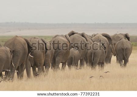 elephants in a row - stock photo