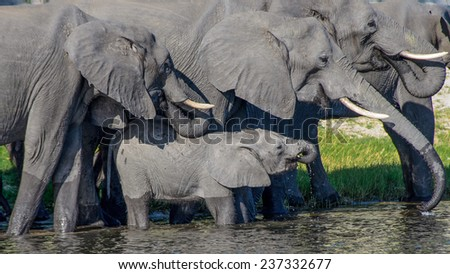 Elephants in Chobe National Park Botswana - stock photo