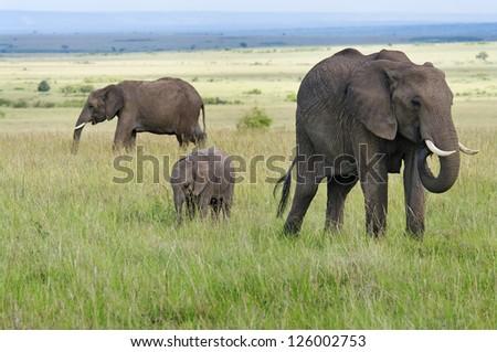 Elephants in masai mara national park, Kenya. - stock photo