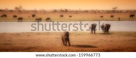 Elephants in Savannah in Botswana, Africa - stock photo