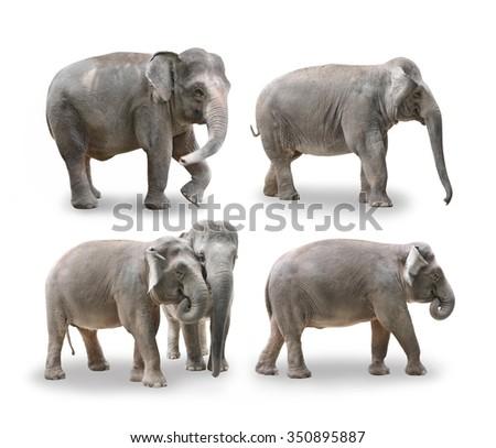 Elephants in white background  - stock photo