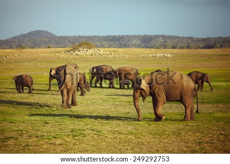 Elephants on the grass field - stock photo