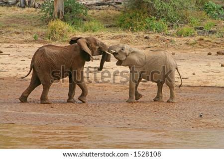 elephants playing - stock photo