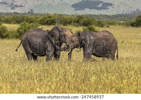 Elephants playing together at a wildpark in Maasai Mara, Kenia. - stock photo