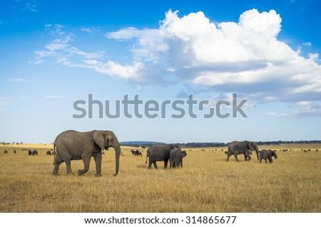 Elephants roaming around the Serengeti National Park in Tanzania, Africa - stock photo