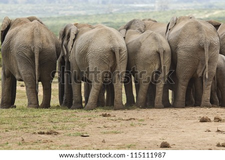 elephants standing in a row with their behinds facing the camera - stock photo