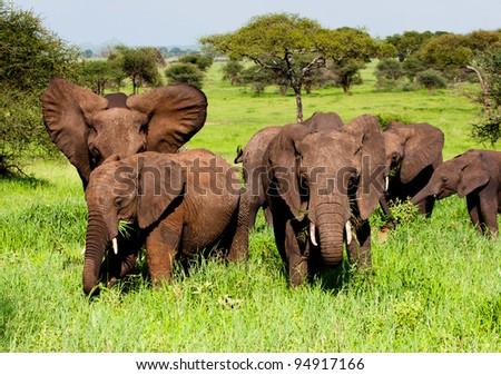 Elephants Tanzania East Africa Serengeti - stock photo