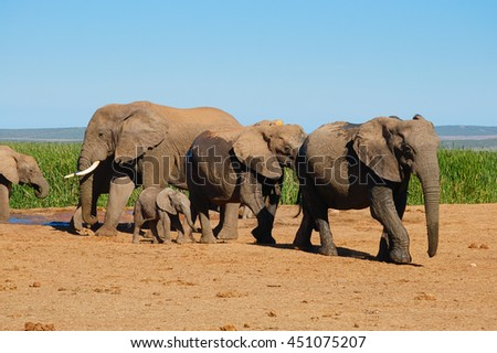 Elephants walking away from water hole in Addo Elephant Park, South Africa - stock photo
