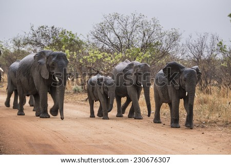 elephants walking on a road. South Africa. - stock photo